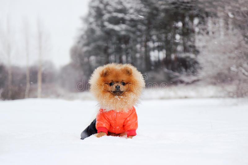 Cane di Pomeranian in neve Cane di inverno Cane in neve Spitz nella foresta di inverno fotografia stock