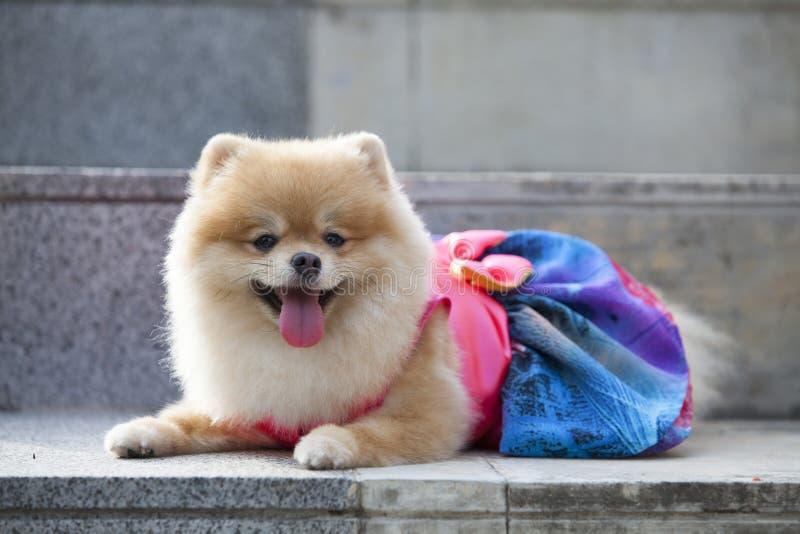 Cane di Pomeranian sulla scala immagini stock