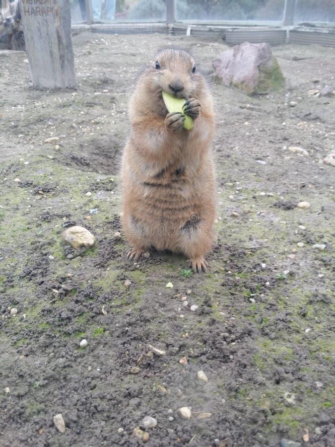 Cane di praire che mangia una mela verde immagine stock immagine di ungheria cani 67975575 - Cane che mangia a tavola ...