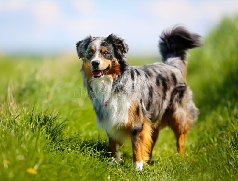 Cane di razza fotografie stock