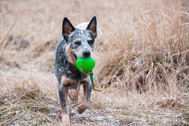 Cane di razza corrente con un bal verde fotografia stock libera da diritti