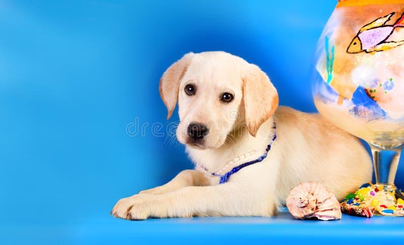 Cane di razza di golden retriever su fondo blu Tema marino immagine stock libera da diritti
