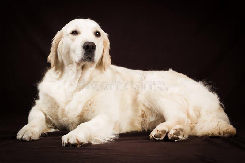 Cane di razza di golden retriever su fondo marrone immagini stock libere da diritti