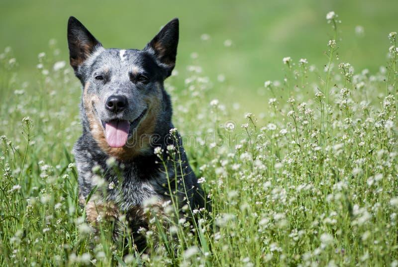 Cane di razza felice che si siede su un bello prato immagini stock libere da diritti