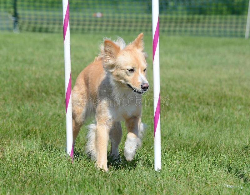 Cane di razza mista alla prova di agilità fotografia stock libera da diritti
