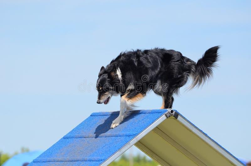Cane di razza mista alla prova di agilità immagine stock