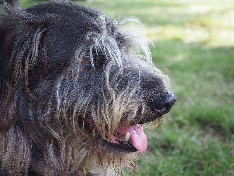 Cane di razza mista sembrante attento, ritratto fotografie stock