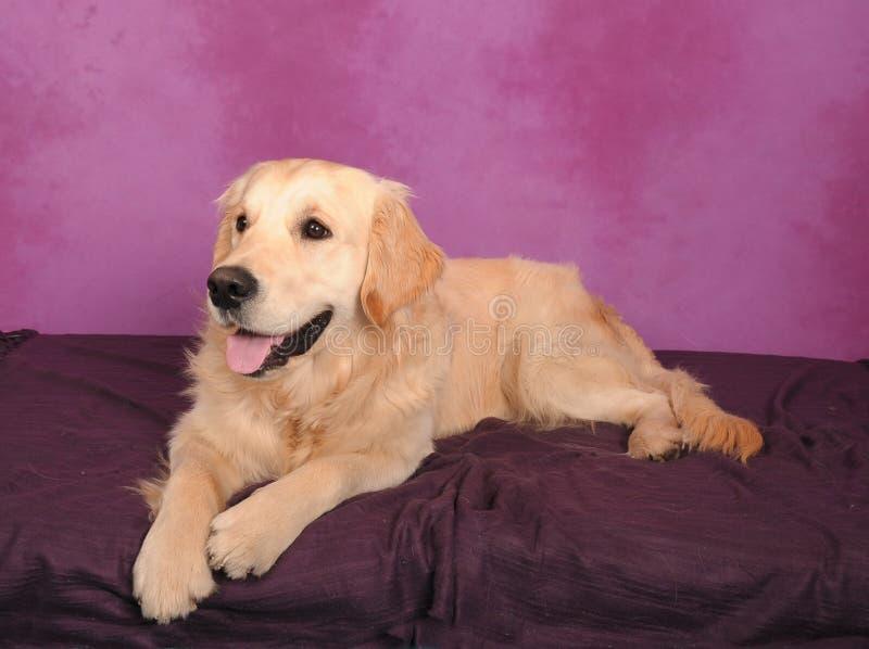 Cane di recupero dorato fotografia stock