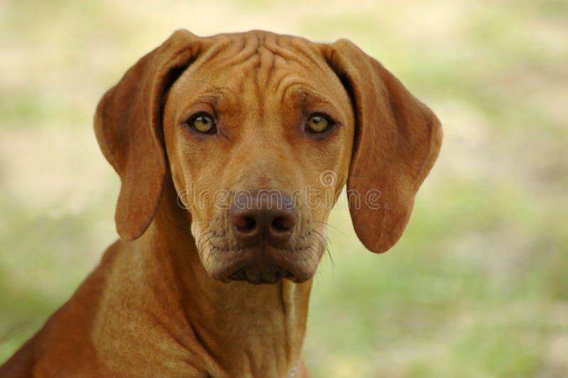 Cane di Rhodesian Ridgeback immagini stock