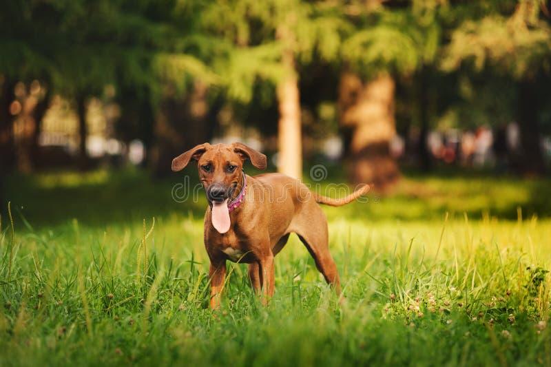 Cane di Rhodesian Ridgeback che cammina di estate fotografie stock