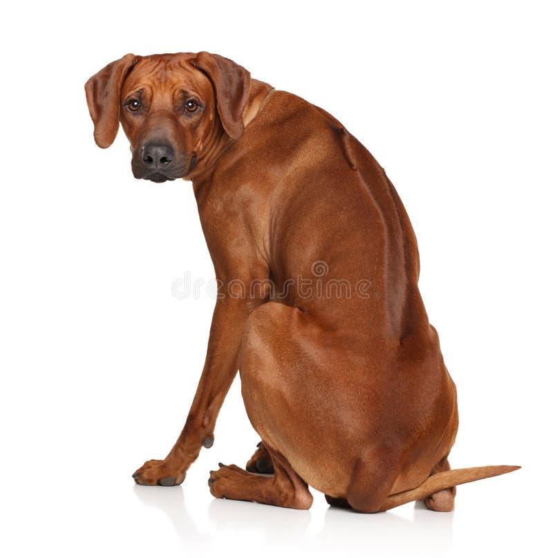Cane di Rhodesian Ridgeback su fondo bianco fotografie stock libere da diritti