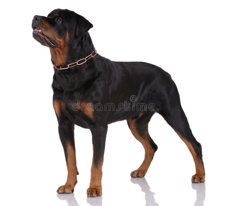 Cane di Rottweiler fotografie stock libere da diritti