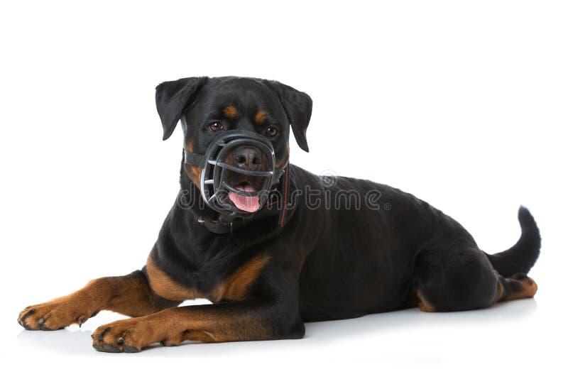 Cane di Rottweiler con la museruola su fondo bianco fotografie stock libere da diritti