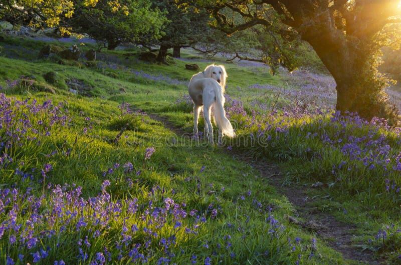 Cane di Saluki in legno di campanula al tramonto immagini stock