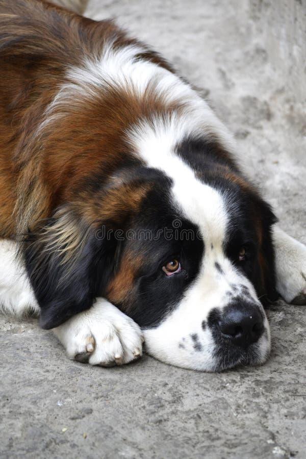 Cane di San bernardo alla via immagine stock libera da diritti