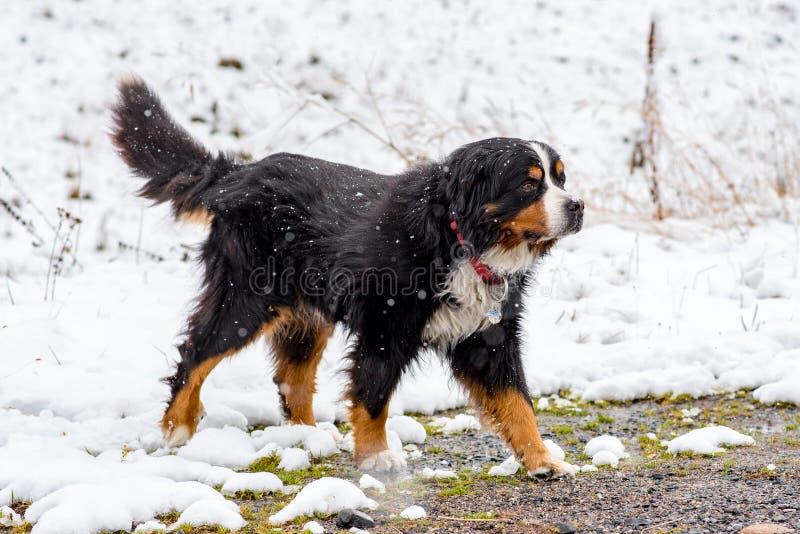 Cane di San Bernardo nelle prime nevi di autunno in Bordes de Envalira, Canillo, Andorra immagini stock