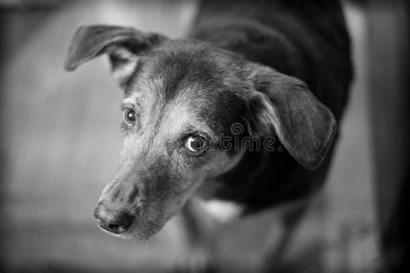 Cane di sguardo colpevole che cerca proprietario fotografia stock libera da diritti