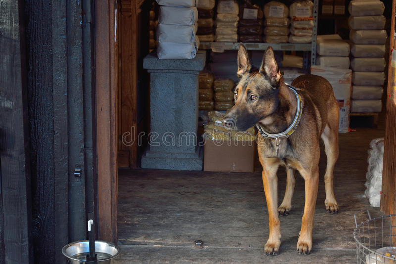 Cane di Sheapperd al frontdoor immagine stock