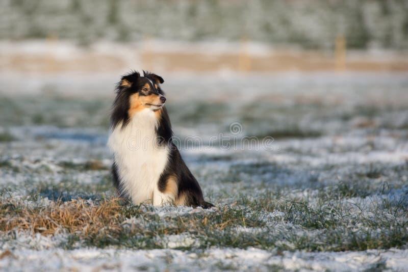 Cane di Sheltie all'aperto nell'inverno immagini stock libere da diritti