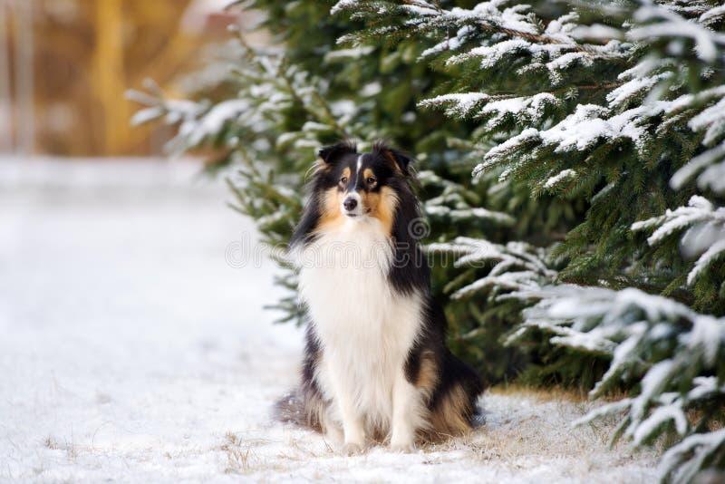 Cane di Sheltie all'aperto nell'inverno fotografie stock libere da diritti