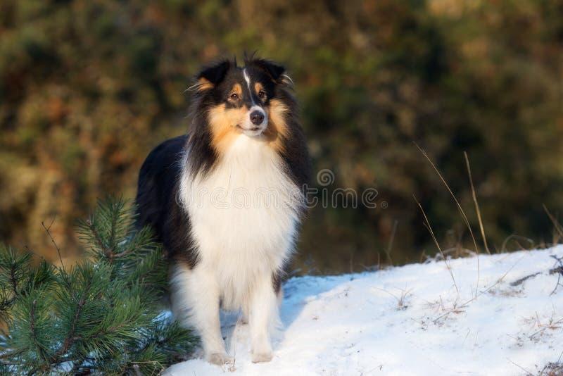 Cane di Sheltie all'aperto nell'inverno fotografia stock libera da diritti