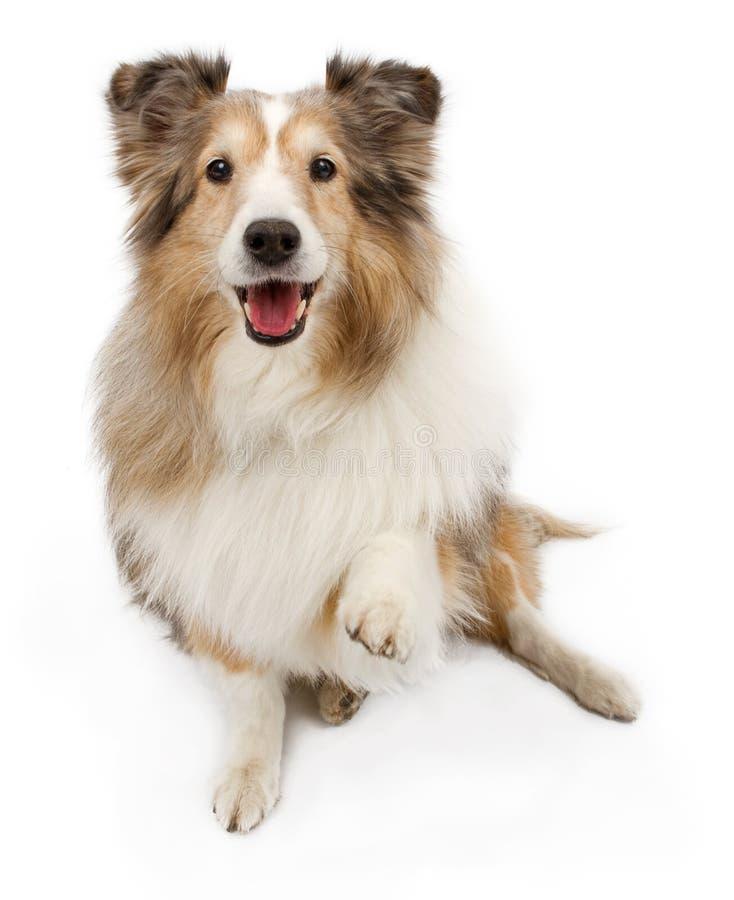 Cane di Sheltie con la zampa fuori isolata su bianco fotografia stock libera da diritti