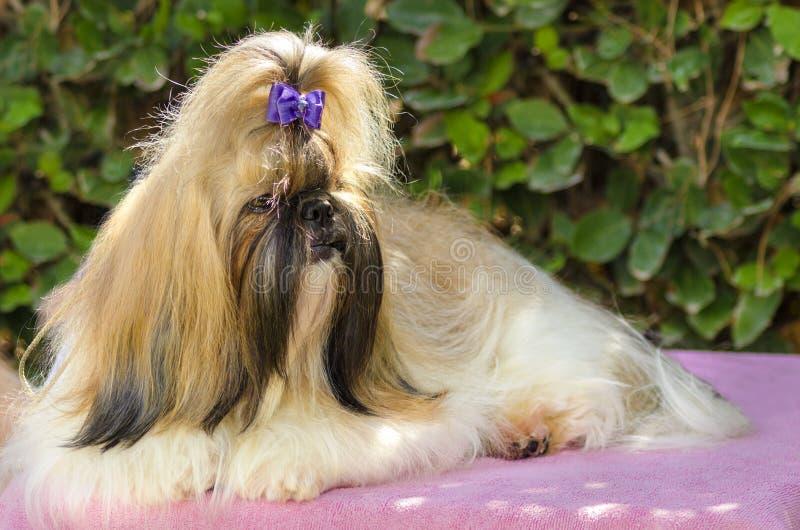 Cane di Shih Tzu immagini stock libere da diritti