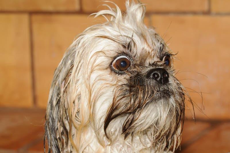 Cane di Skippy sorpreso dopo il bagno immagine stock