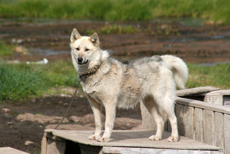 Cane di slitta che si leva in piedi su una casella in Ilulissat fotografia stock libera da diritti