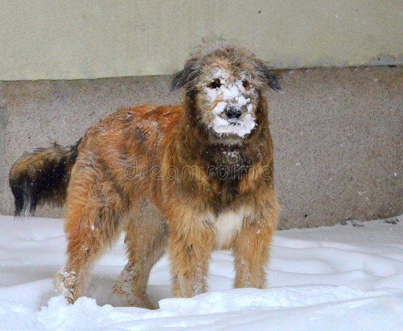Cane di Snowface immagine stock