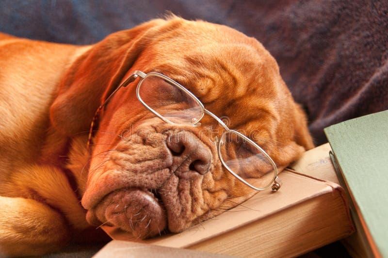 Cane di sonno fotografie stock libere da diritti