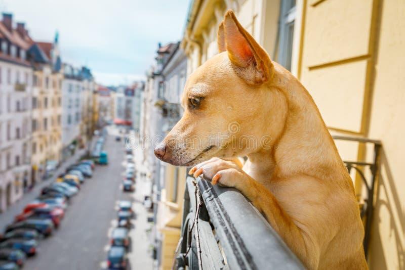Cane di sorveglianza curioso dal balcone fotografia stock libera da diritti