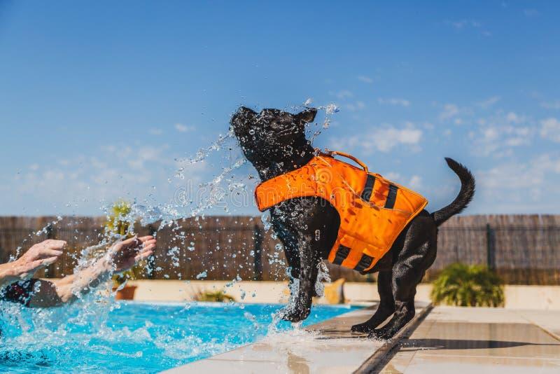 Cane di Staffordshire bull terrier in un giubbotto di salvataggio arancio che gioca b fotografie stock libere da diritti