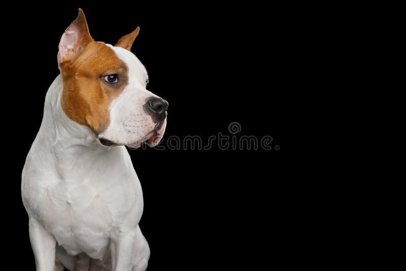 Cane di Staffordshire Terrier americano isolato su fondo nero fotografia stock libera da diritti