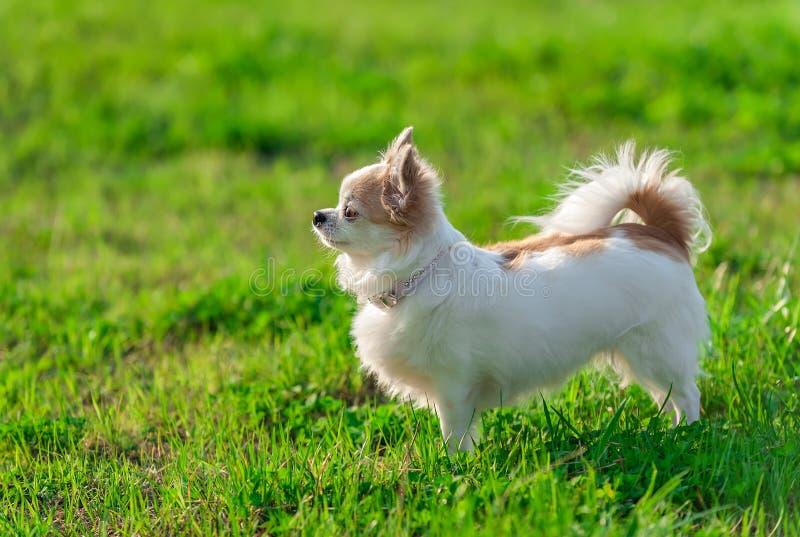Cane di Sunny Chihuahua sul fondo della natura di estate fotografia stock libera da diritti