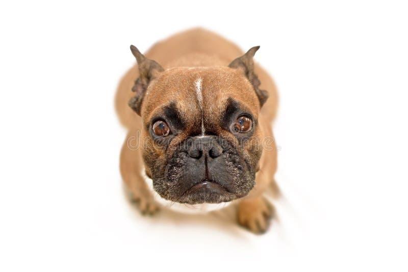 Cane di supplica adorabile del bulldog francese con i grandi occhi che cerca macchina fotografica, isolata su fondo bianco immagini stock libere da diritti