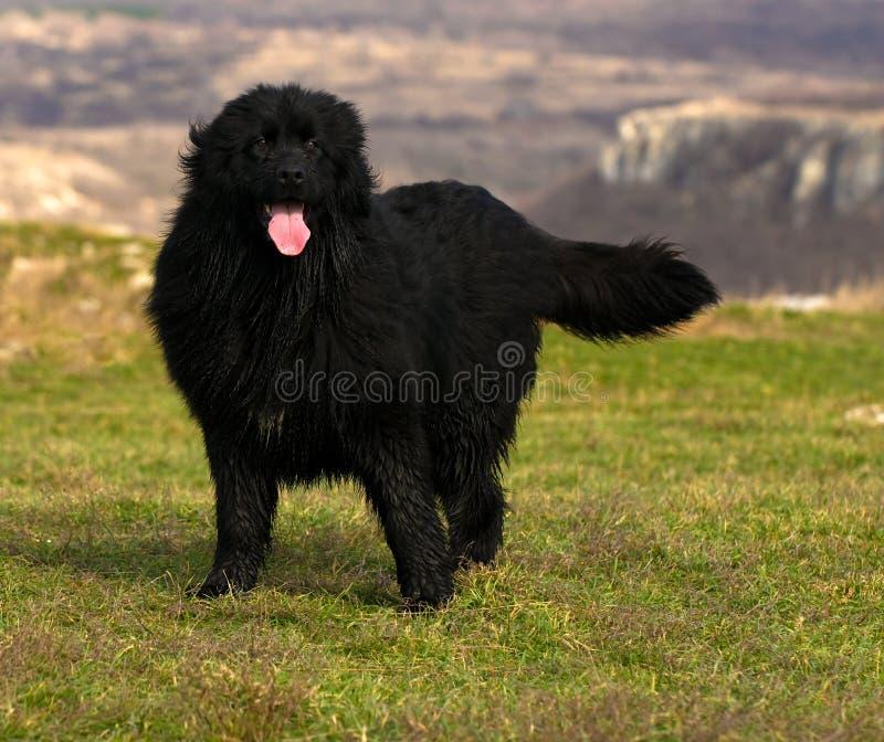 Cane di Terranova immagine stock libera da diritti