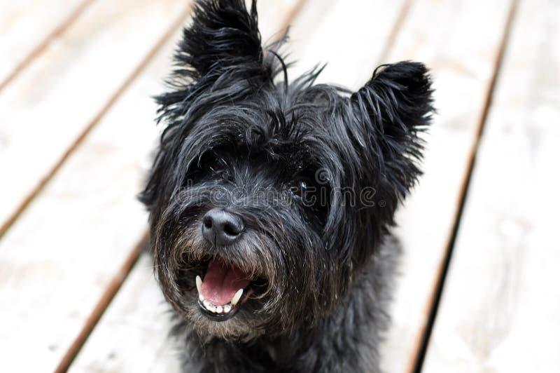 Cane di Terrier di cairn fotografie stock libere da diritti