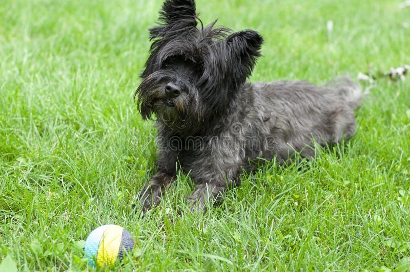 Cane di Terrier di cairn fotografia stock