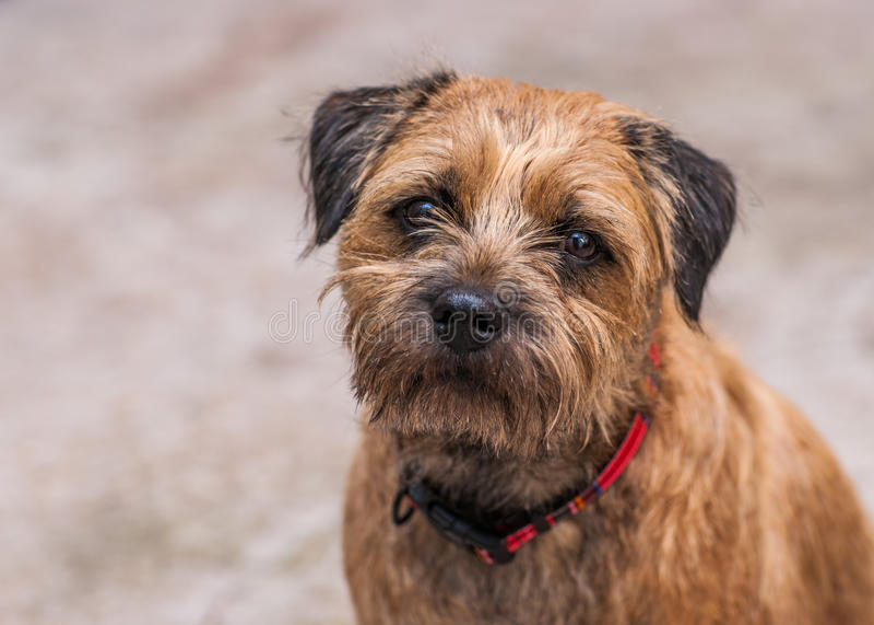 Cane di Terrier di confine fotografia stock libera da diritti