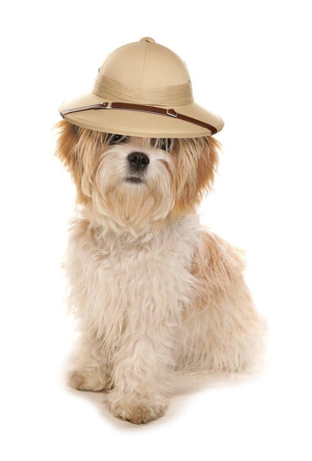 Cane di tzu di Shih che porta un cappello degli esploratori di safari fotografia stock libera da diritti