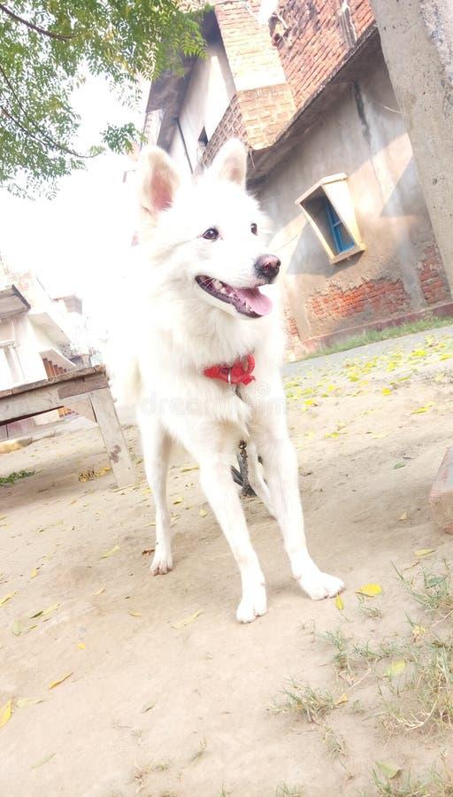 Cane di vellage di Desi in India che sembra piacevole fotografia stock libera da diritti