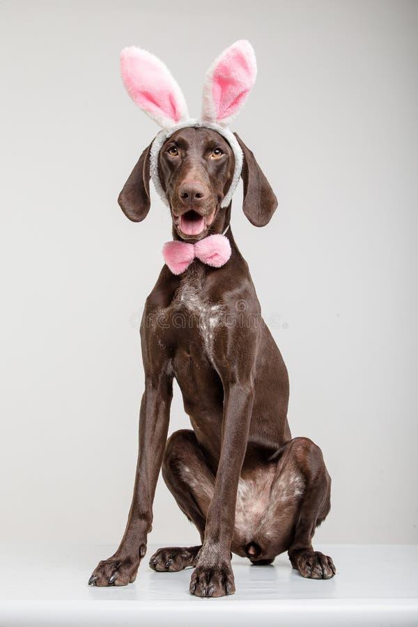 Cane di Vizsla come coniglietto di pasqua fotografia stock