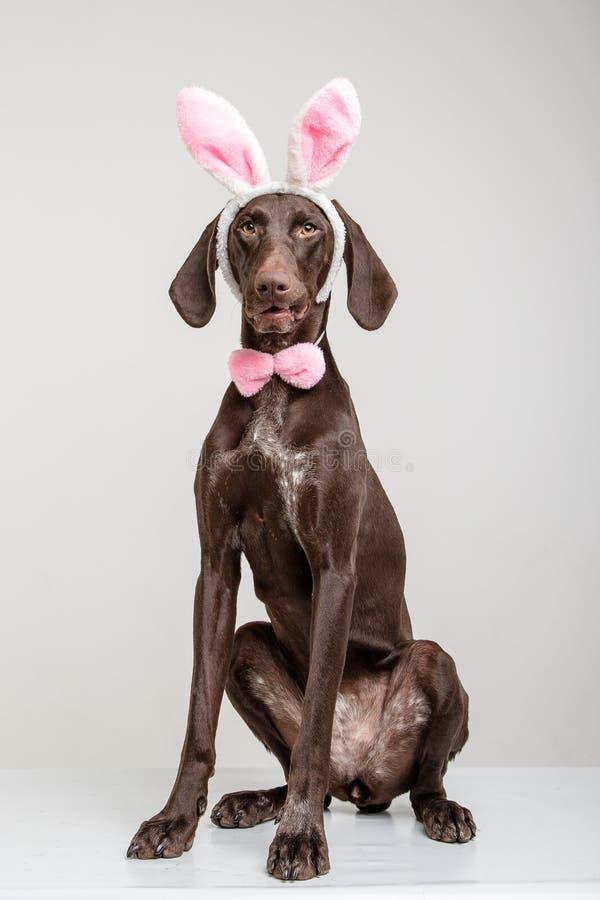 Cane di Vizsla come coniglietto di pasqua immagine stock