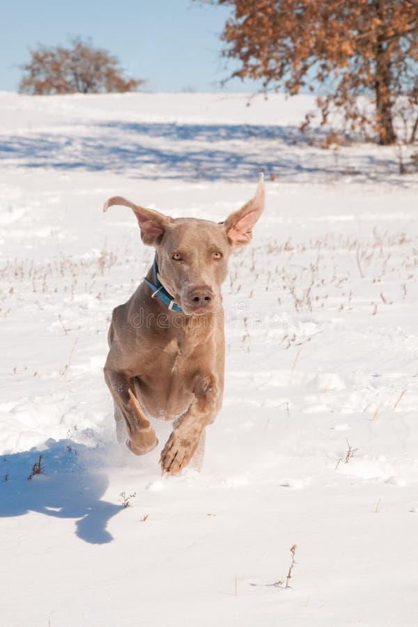 Cane di Weimaraner che funziona nella neve profonda immagine stock