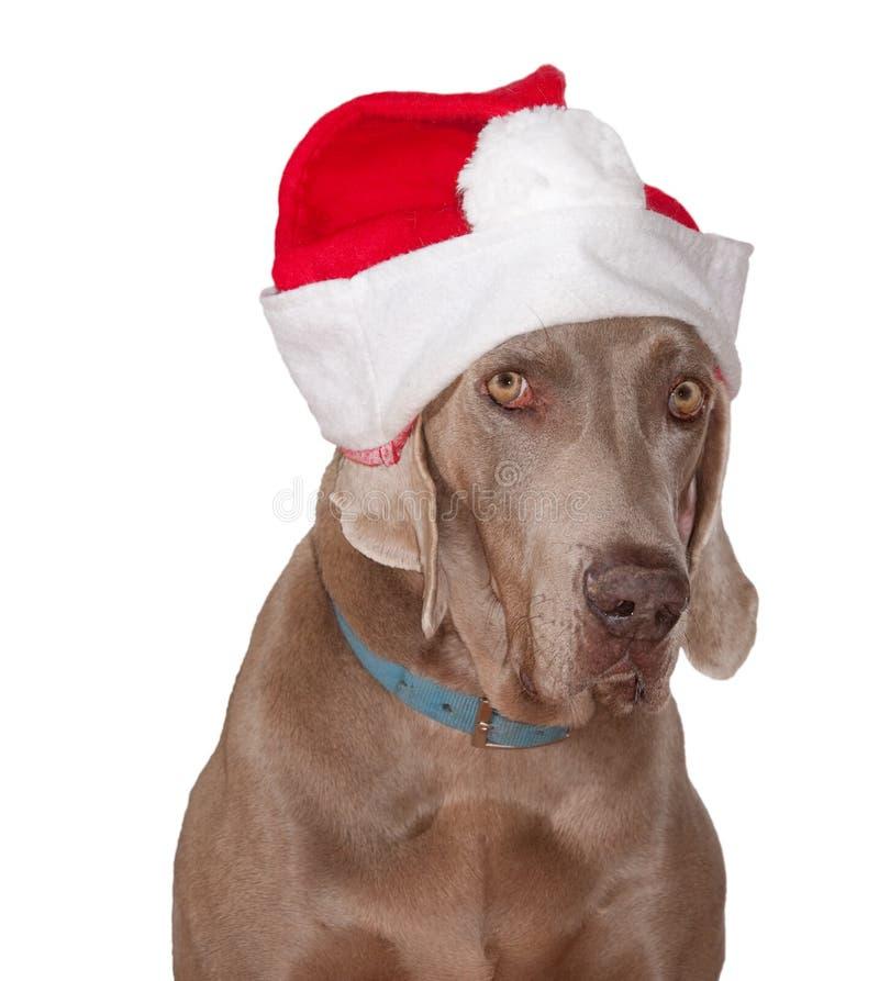 Cane di Weimaraner che porta un cappello della Santa fotografia stock