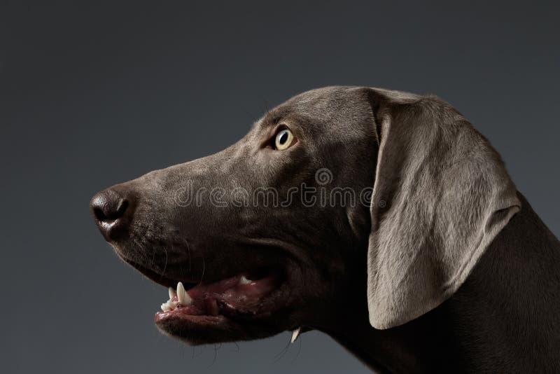 Cane di Weimaraner del ritratto del primo piano nella vista di profilo sulla pendenza bianca fotografie stock