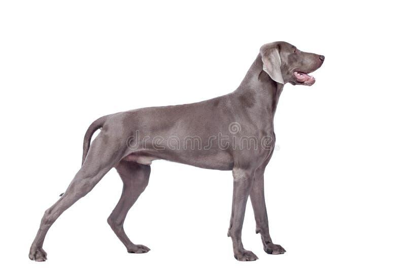 Cane di Weimaraner isolato su bianco immagine stock
