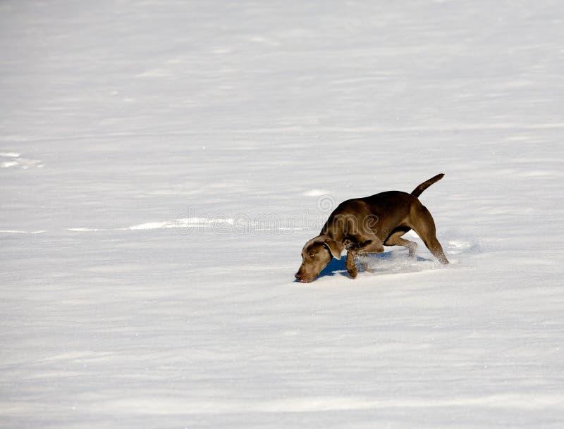 Cane di Weimaraner nella neve fotografie stock libere da diritti