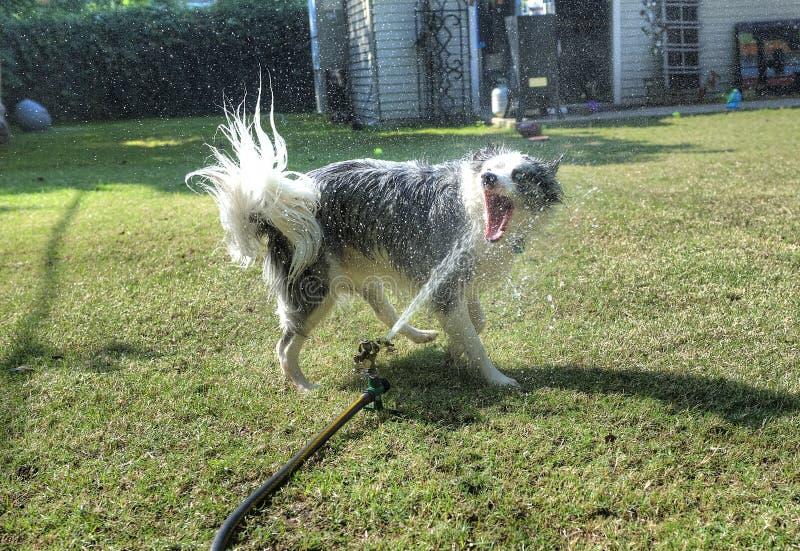Cane divertendosi acqua mordace nel cortile fotografia stock